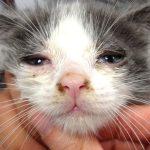 perche al mio gatto lacrimano gli occhi