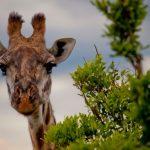 la leggenda del collo della giraffa