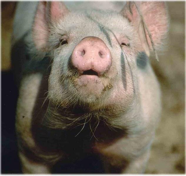 perche ai musulmani è vietato il maiale