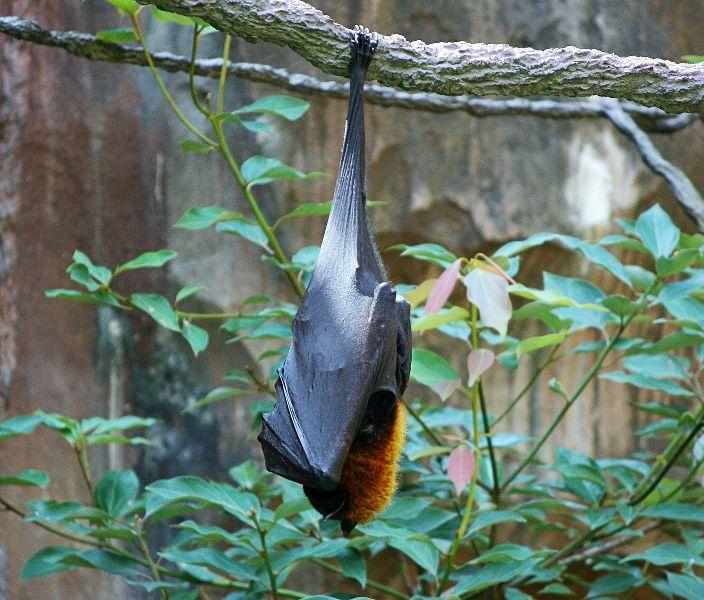 perchè i pipistrelli dormono a testa in giù